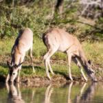 Palo Alto Creek Farm deer