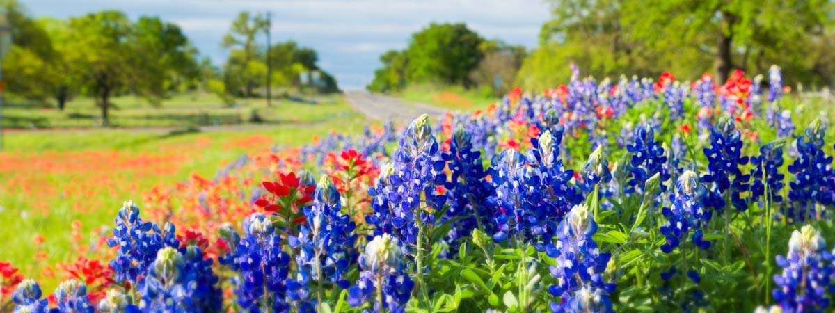 Blue Bonnets along highway